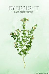 The Medicinal Herb Eyebright