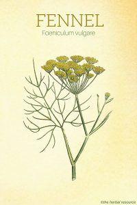 The Herb Fennel (Foeniculum vulgare)