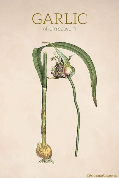 Garlic Herb (Allium sativum)