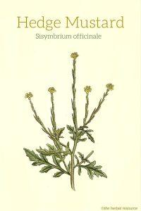 Hedge Mustard (Sisymbrium officinale) - Medicinal Herb