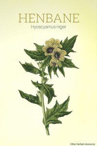 The Herb Henbane (Hyoscyamus niger)