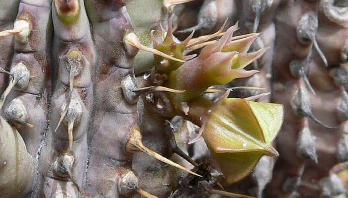 Hoodia Gordonii - Herbal Medicine