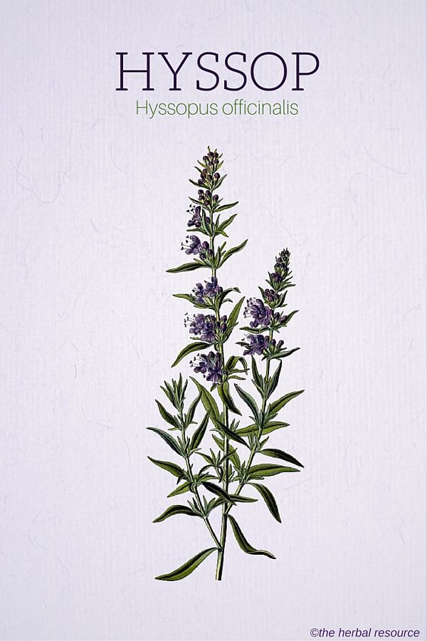 Hyssop Herb Uses, Side Effects and Benefits
