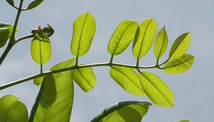 Jamaican Dogwood Leaves