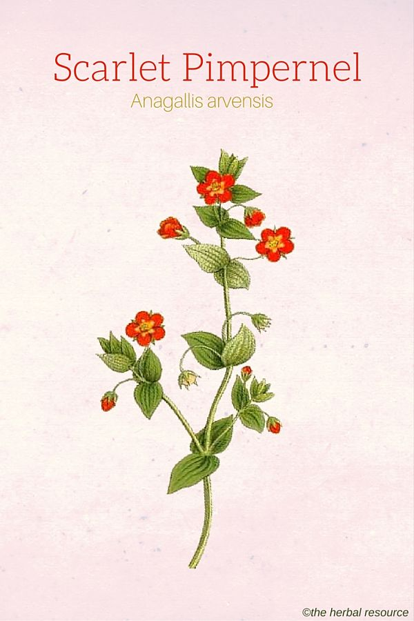 Scarlet Pimpernel Uses And Side Effects As A Medicinal Herb
