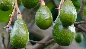 Unripe Avocado Fruits