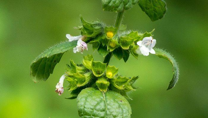 Lemon Balm Flowers