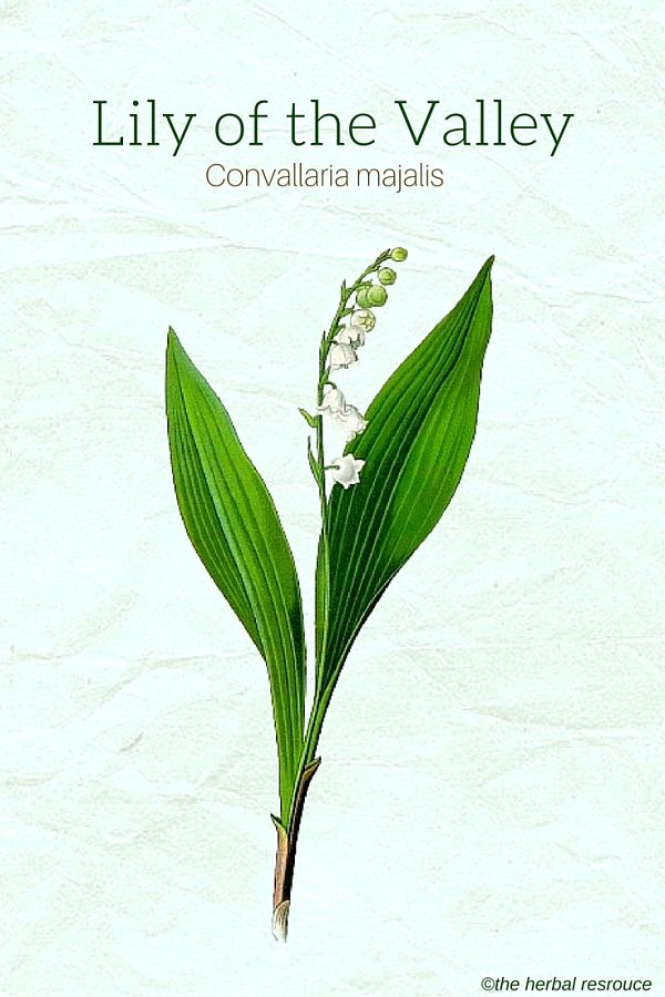 Lily Of The Valley Benefits And Side Effects