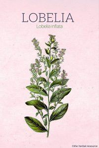The Herb Lobelia Inflata