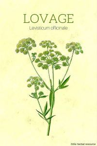 Lovage (Levisticum officinale)