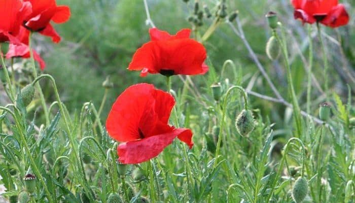 Red poppy benefits and uses as a medicinal herb red poppy flowers mightylinksfo