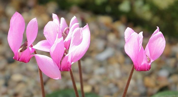 Cyclamen purpurascens flowers