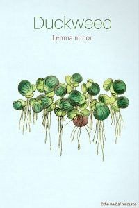 duckweed lemna minor