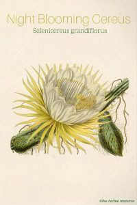 Night Blooming Cereus - Selenicereus grandiflorus