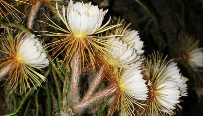 Night Blooming Cereus - Herbal Medicine