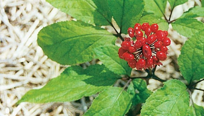 Panax Ginseng Herb Uses Side Effects And Benefits