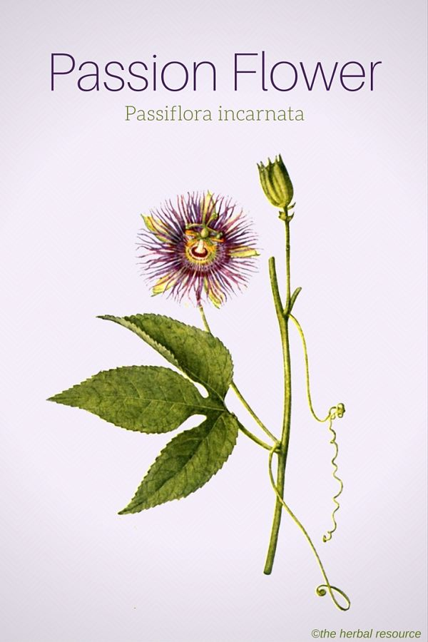 Passion Flower Herb Uses Side Effects And Benefits