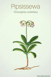 Pipsissewa (Chimaphila umbellata) - Illustration ©the herbal resource