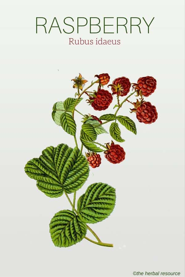 Raspberry Herb Uses, Side Effects and Health Benefits