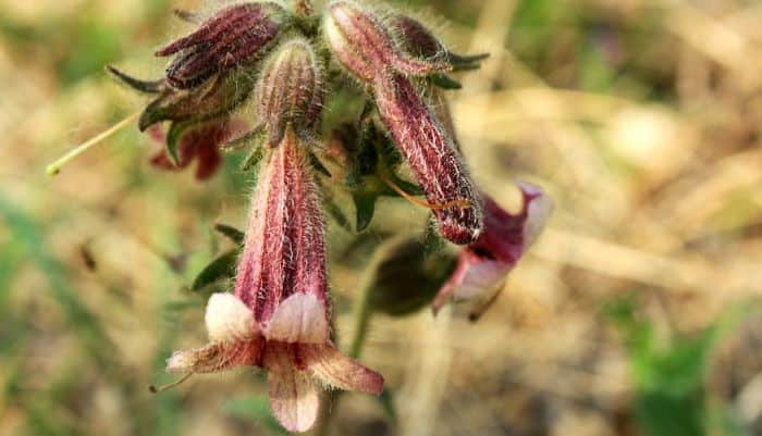 Rehmannia root herb uses side effects and benefits
