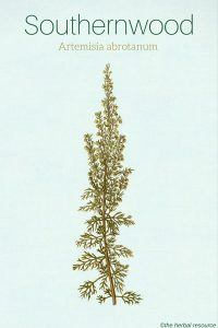 southernwood herb