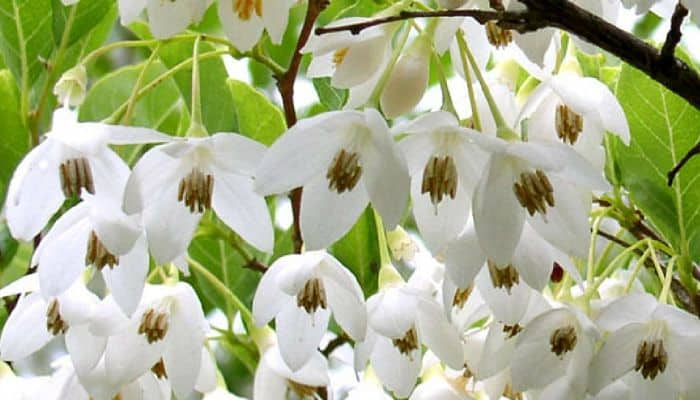 Styrax Benzoin Herb Uses and Health Benefits