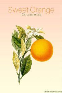 Sweet Orange Citrus sinensis