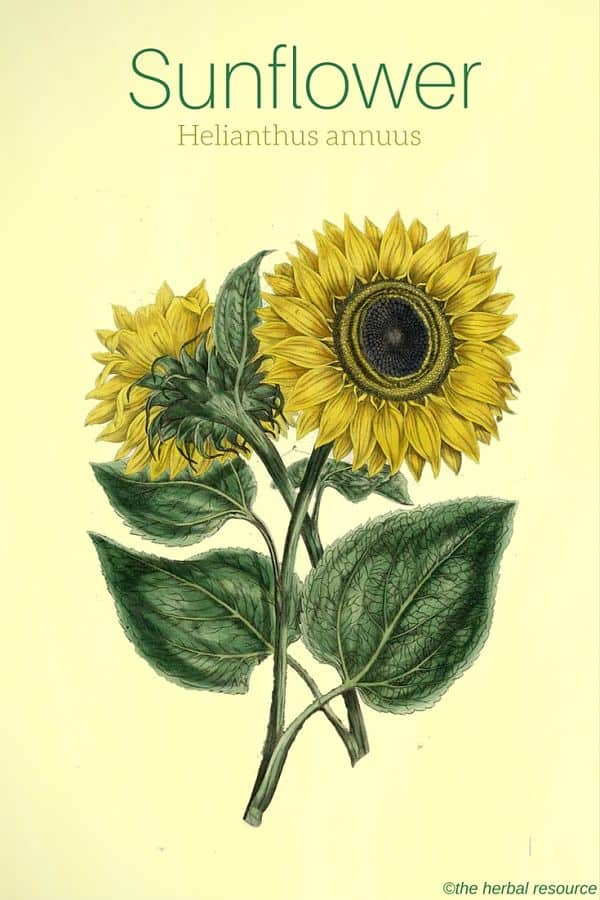 Sunflower benefits and uses of its seed and petals sunflower helianthus annuus illustration the herbal resource mightylinksfo Choice Image
