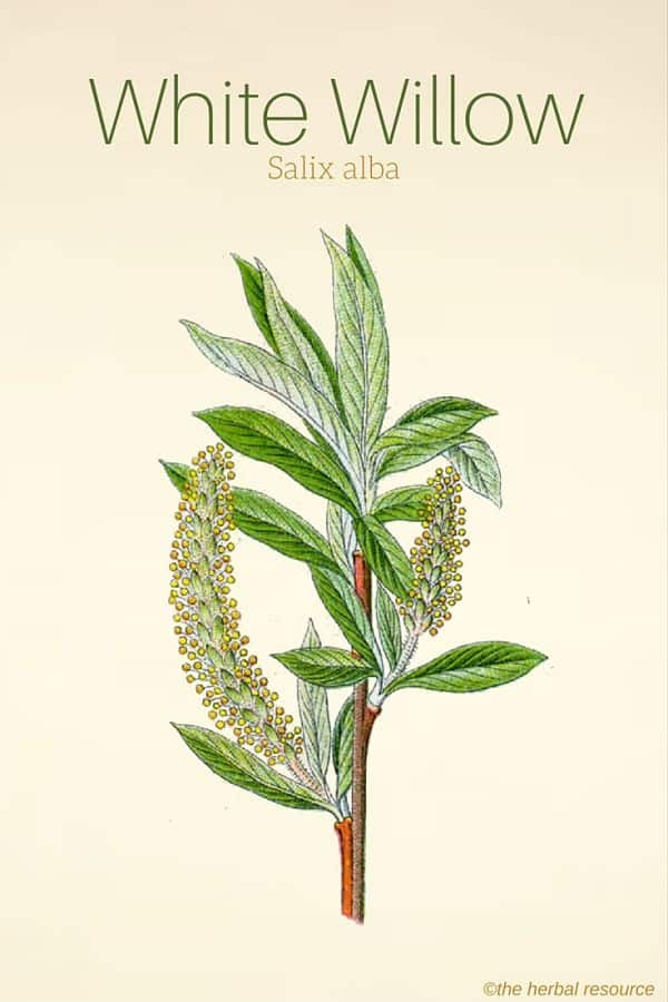 White Willow Bark Therapeutic Uses And Side Effects