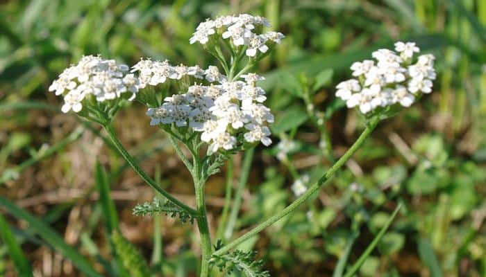 yarrow herb uses health benefits and side effects