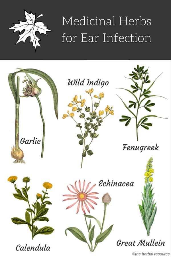 herbs for ear infections