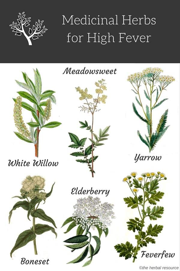 Herbs for High Fever