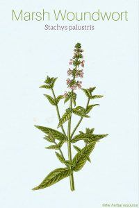 Marsh Woundwort Stachys palustris