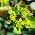 Sun Spurge Uses, Benefits and Side Effects