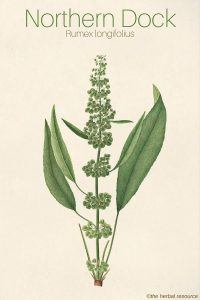 northern dock Rumex longifolius