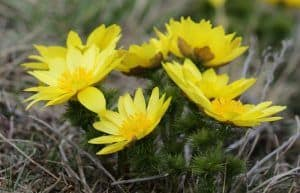 Pheasant's Eye Herb Uses and Toxicity