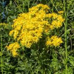 Ragwort  – Traditional Uses and Toxicity
