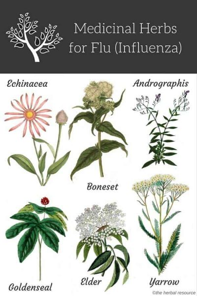 herbs for influenza