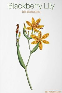 Blackberry Lily Belamcanda chinensis