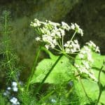 Spignel – Health Benefits and Uses as a Medicinal Herb and Spice