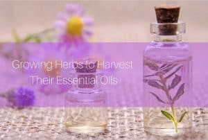 growing herbs for essential oils