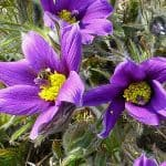 Pasque Flower Medicinal Uses, Toxicity and Side Effects