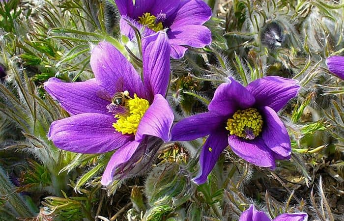 Pasque Flower herb