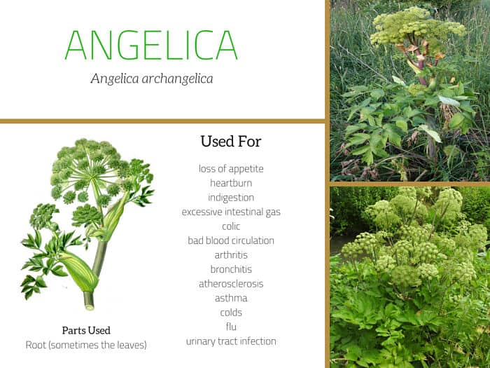 angelica root uses