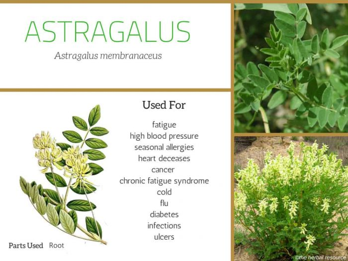 astragalus uses and benefits