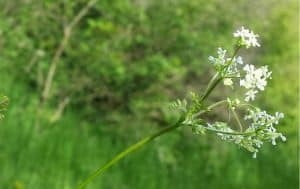 Chervil – Herb Uses as Spice and Benefits