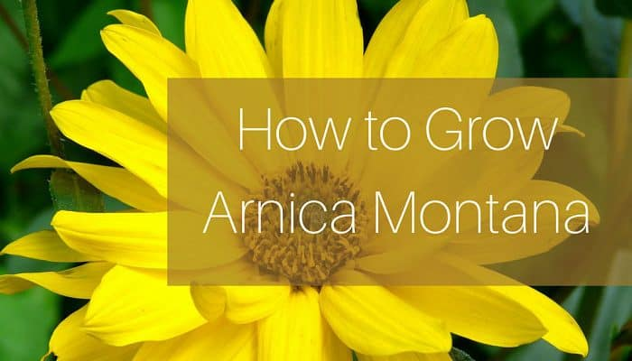 how to grow arnica