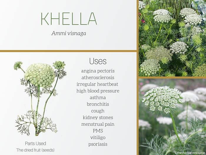 Khella (Ammi visnaga) Uses and Benefits