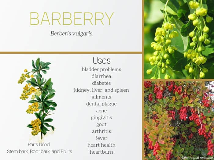 barberry benefits and uses