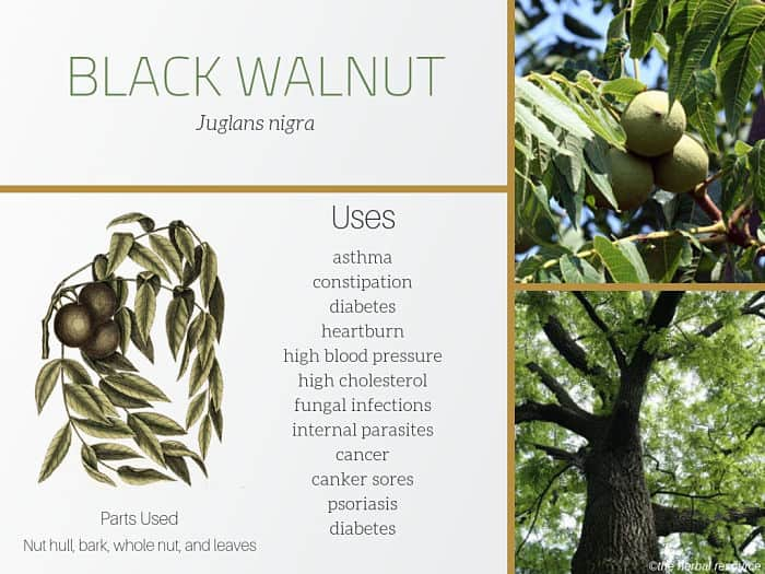 Black Walnut - Side Effects, Herb Uses and Benefits